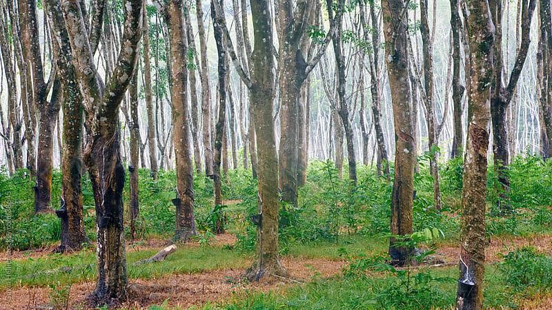 Asia, Malaysia, Langkawi Island, Pulau Langkawi, Ruber tree plantation by Gavin Hellier for Stocksy United