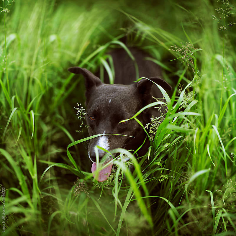 Dog out for a walk takes a rest in green grass field by Laura Stolfi for Stocksy United