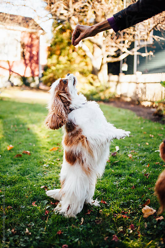 A Cavalier King Charles spaniel begging for a treat outside.  by J Danielle Wehunt for Stocksy United