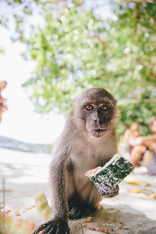scared monkey with watermelon peels looking at camera by Andrey Pavlov for Stocksy United