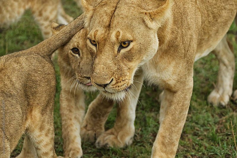 Lioness and Cubs by aaronbelford inc for Stocksy United