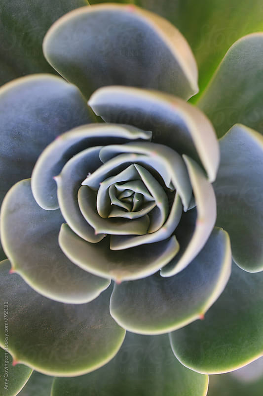 Succulent close up by Amy Covington for Stocksy United
