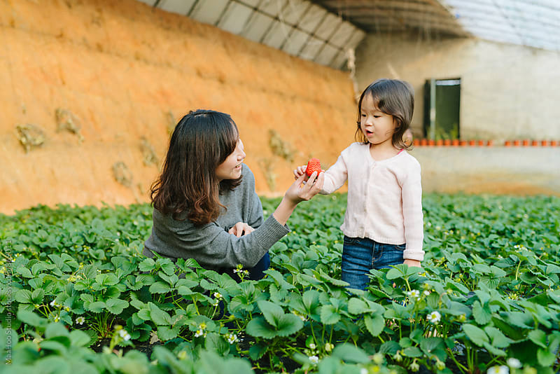 Young girl and her mother picking strawberry in greenhouse by MaaHoo Studio for Stocksy United