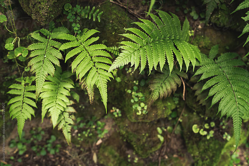 Ferns Growing Out Of A Rock by Alison Winterroth for Stocksy United