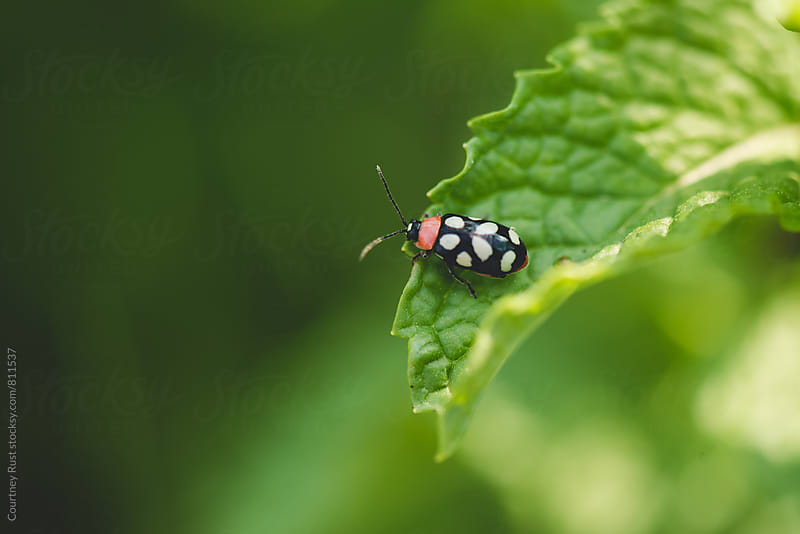 Asparagus Beetle by Courtney Rust for Stocksy United