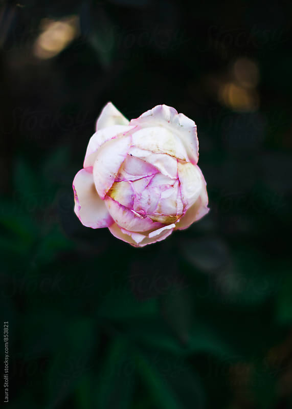 Dramatic shot of pale pink rosebud in the shadow by Laura Stolfi for Stocksy United