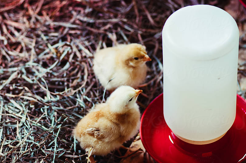 baby chicks drinking from a waterer by Deirdre Malfatto for Stocksy United