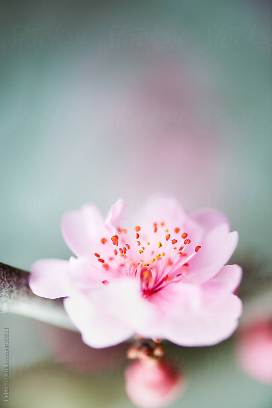 spring pink blossom flower by Helen Yin for Stocksy United