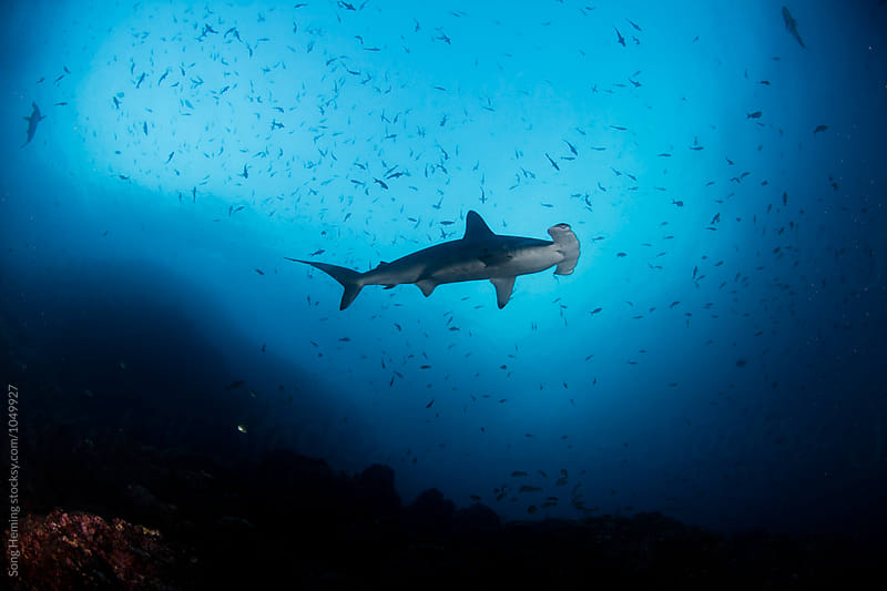 A hammerhead shark on the move by Song Heming for Stocksy United