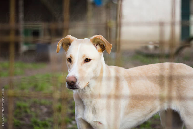 Beautiful stray dog behind fence in dog shelter by Laura Stolfi for Stocksy United