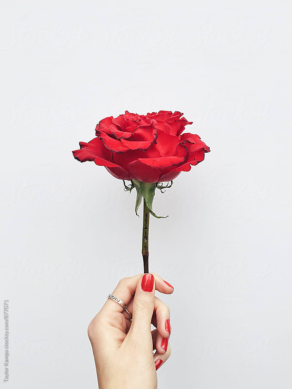 Here's a Red Rose by Taylor Kampa for Stocksy United