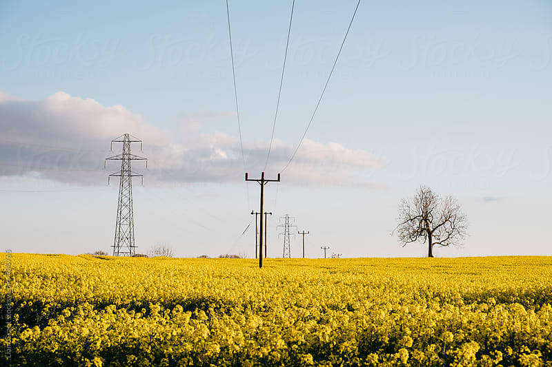 Telegraph poles in a field of Rapeseed at sunset. Norfolk, UK. by Liam Grant for Stocksy United