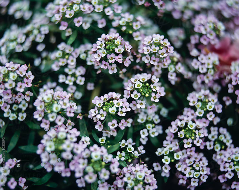 Detail of tiny white flowers growing in an english garden. UK. by Liam Grant for Stocksy United