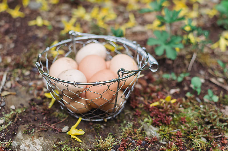 freshly gathered eggs in a basket by Deirdre Malfatto for Stocksy United
