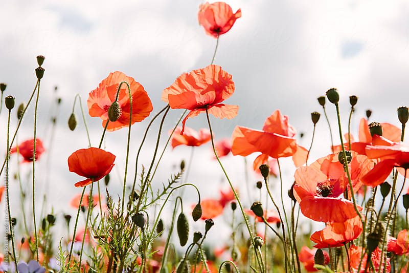 Field poppies against a cloudy sky. by Helen Rushbrook for Stocksy United