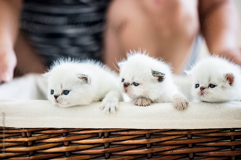 Three Little Kittens in a Basket by Jill Chen for Stocksy United