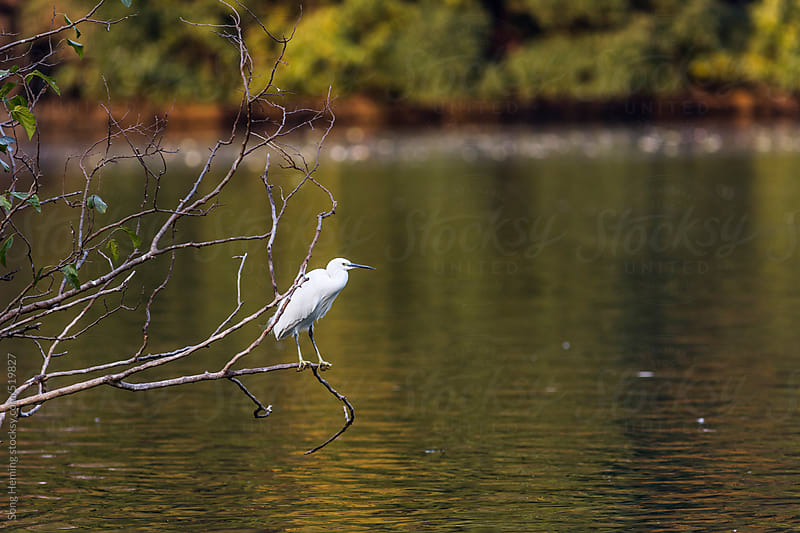 egret bird  prey on fish by Song Heming for Stocksy United