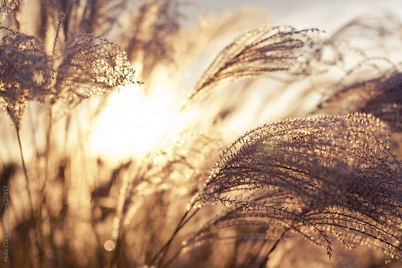 Setting Sun peaks through Autumn Grasses by Holly Clark for Stocksy United