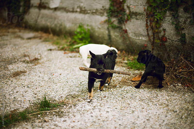 Shiba inu and french bulldog puppies play in garden with wood stick by Laura Stolfi for Stocksy United