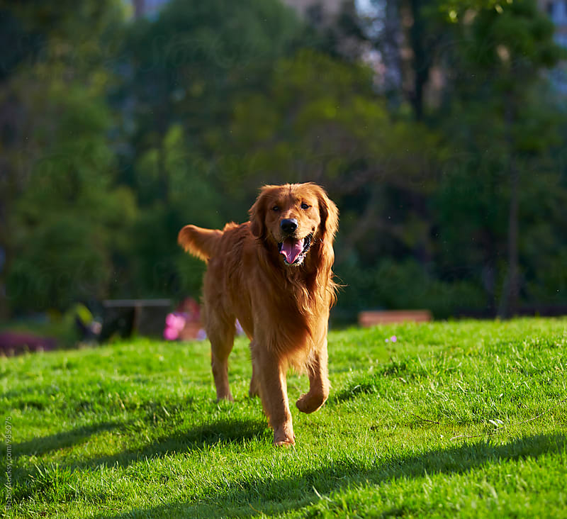 one adult golden retriever walking on lawn by cuiyan Liu for Stocksy United