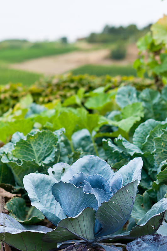 a garden of cabbages by Laura Adani for Stocksy United