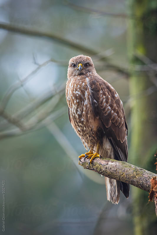 Common buzzard (Buteo buteo) by Gabriel Ozon for Stocksy United