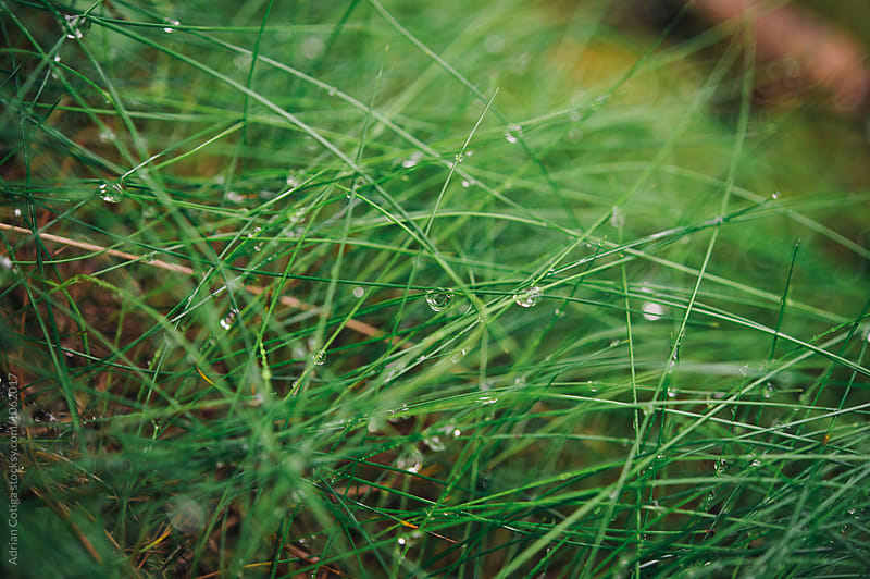 Green grass with dew by Adrian Cotiga for Stocksy United