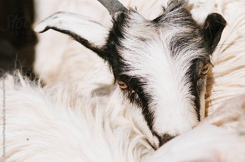 Goats for sale, Livestock Bazaar, Kashgar, China. by Thomas Pickard Photography Ltd. for Stocksy United