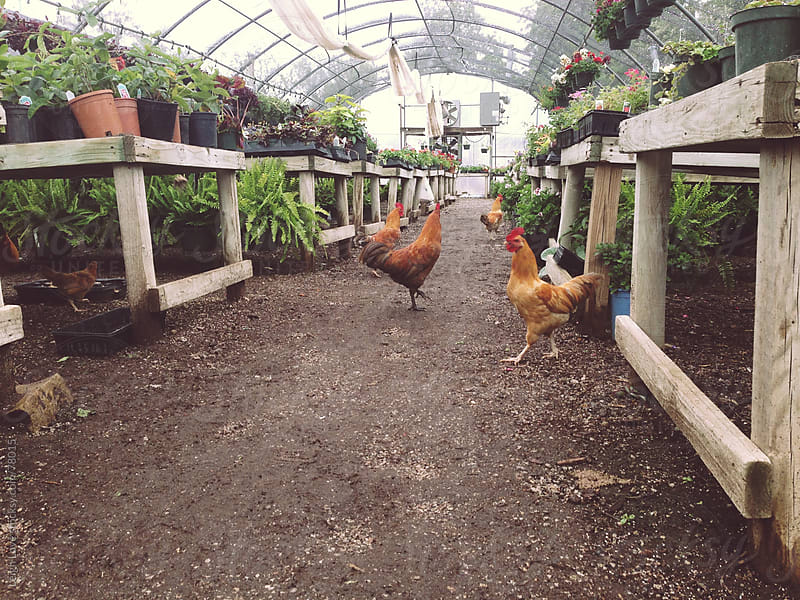 Chickens Wander Through a Greenhouse by Leigh Love for Stocksy United