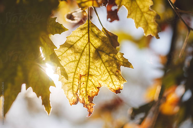 Sunlight Filtering Through Autumn Leaves by Helen Sotiriadis for Stocksy United