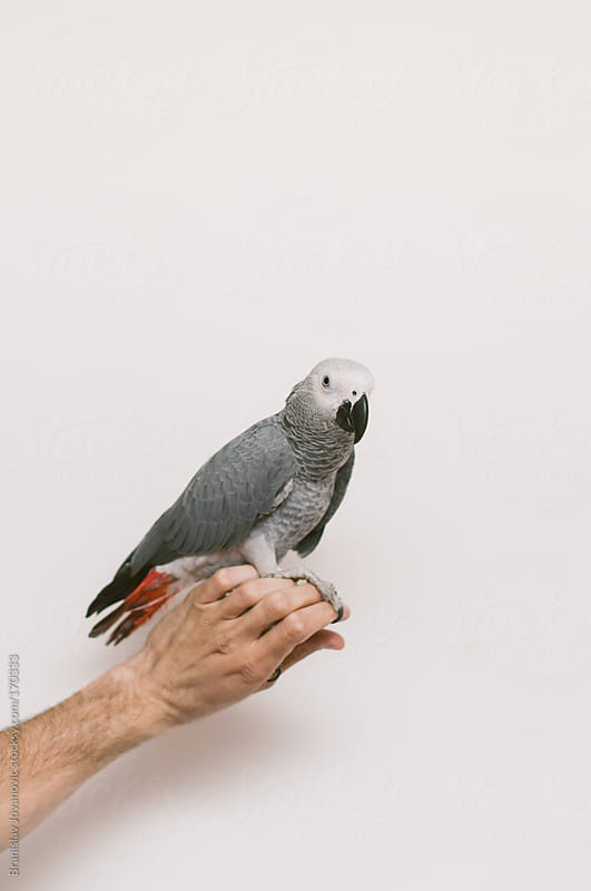 Gray parrot standing on a man's hand by Brkati Krokodil for Stocksy United