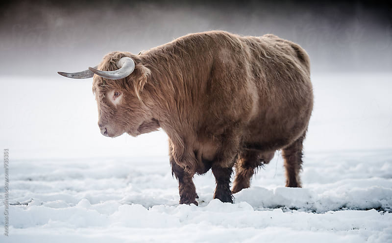 highland cattle by Andreas Gradin for Stocksy United