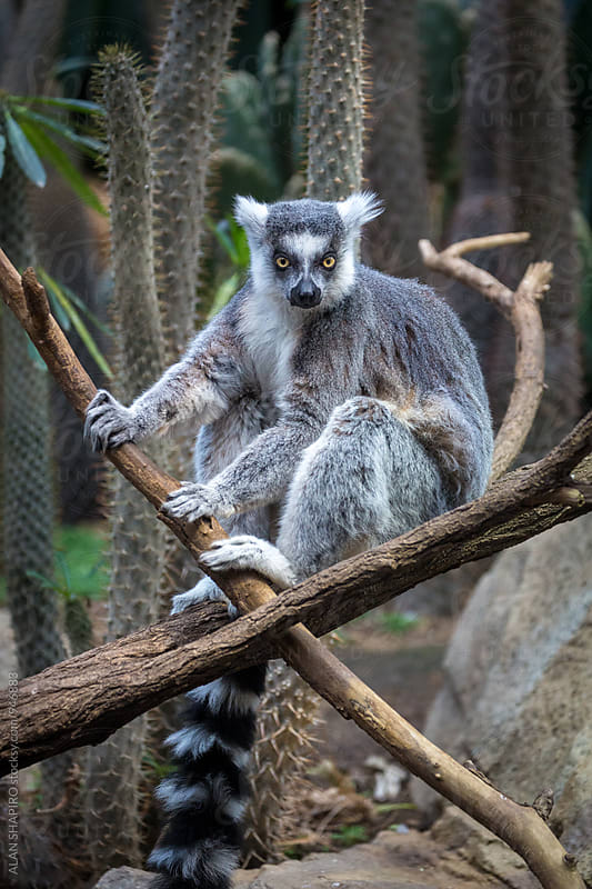 Ring tailed Lemur by alan shapiro for Stocksy United