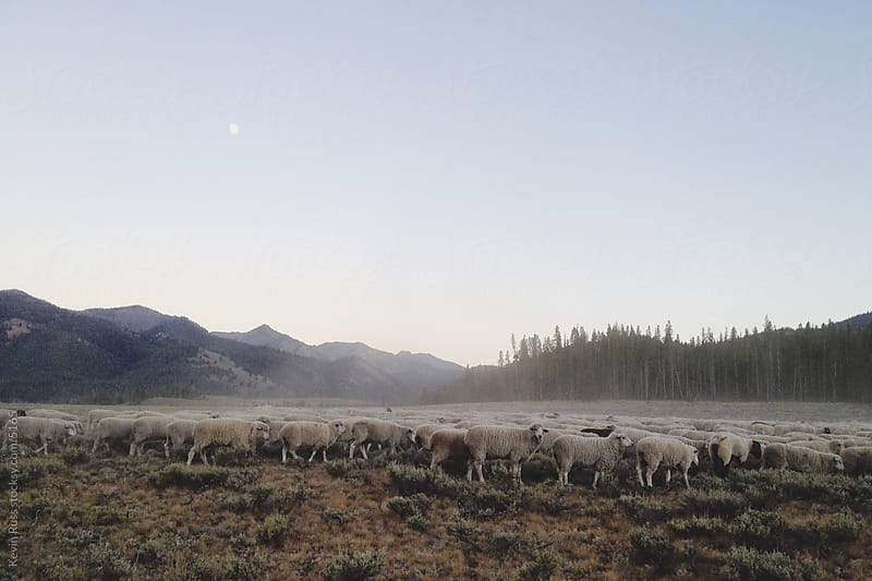 Sheep Herd Dust by Kevin Russ for Stocksy United