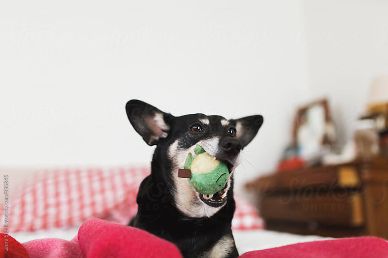 Dog having fun with her frog shaped ball on bed in sunny bedroom by Laura Stolfi for Stocksy United