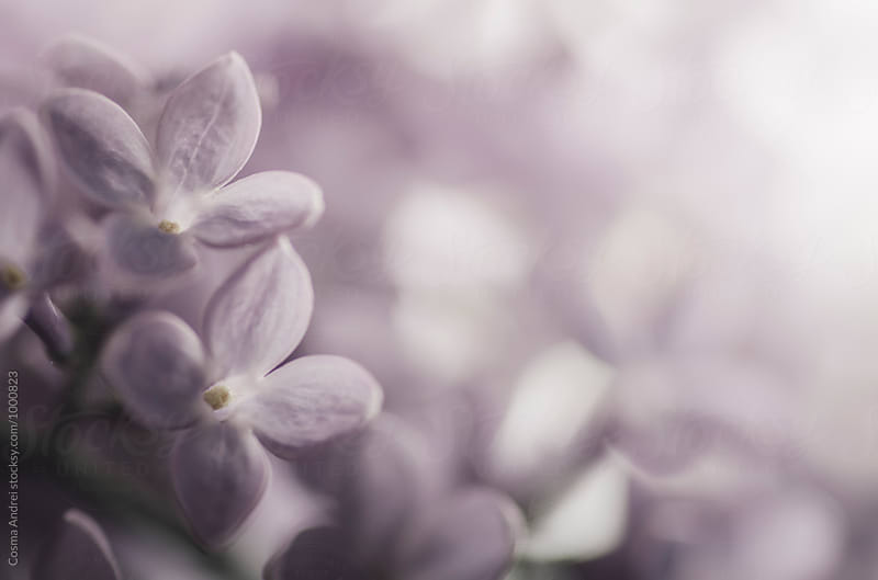 Purple lilac flower in spring by Cosma Andrei for Stocksy United