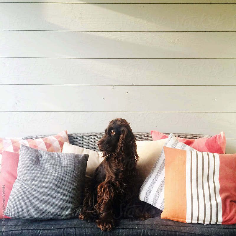 Cocker spaniel dog sitting on a bench a garden cottage by Cindy Prins for Stocksy United