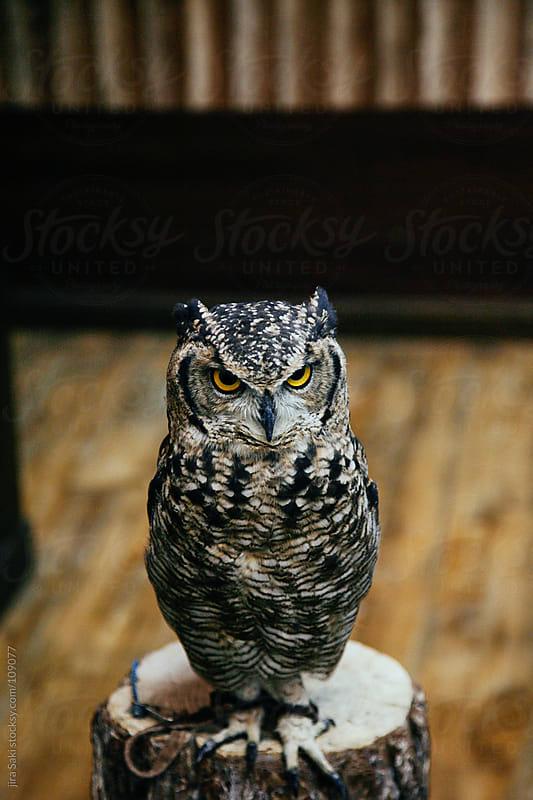 owl by jira Saki for Stocksy United