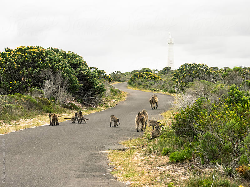 Baboon family troupe with babies on a deserted road in South Africa by DV8OR for Stocksy United