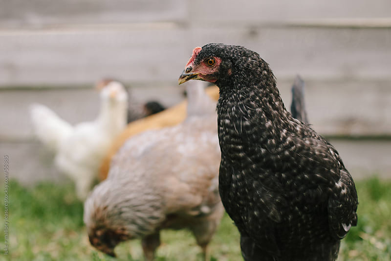 Chickens in the Backyard by luke + mallory leasure for Stocksy United