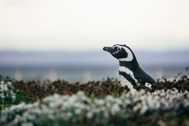 Magellanic Penguin on Tundra by Willie Dalton for Stocksy United