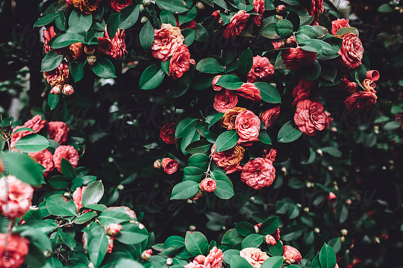 camellia flowers by Thais Ramos Varela for Stocksy United