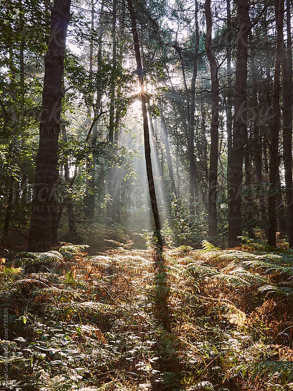 Rays of early morning light in a misty woodland. Norfolk, UK. by Liam Grant for Stocksy United