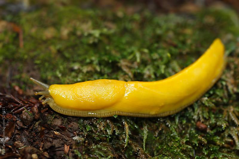 Banana slug by Paul Tessier for Stocksy United
