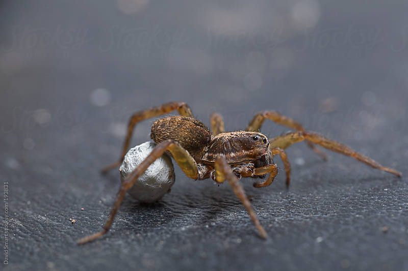 Wolf spider with egg sac and two missing legs by David Smart for Stocksy United