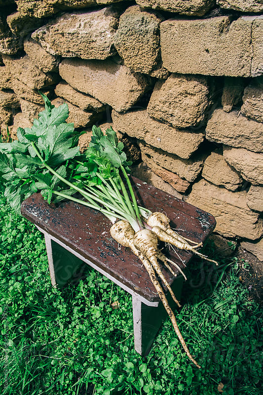 WInter Parsnips Just Harvested by Rowena Naylor for Stocksy United