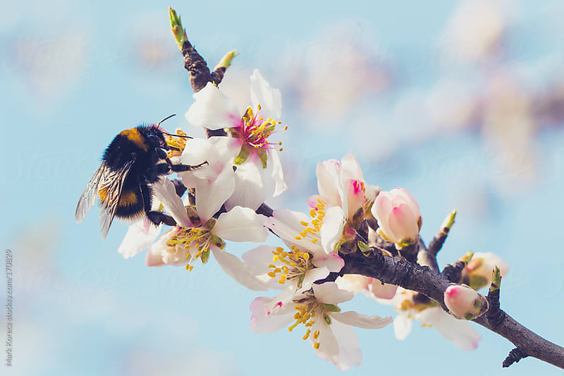 Bees on flowers by Mark Korecz for Stocksy United