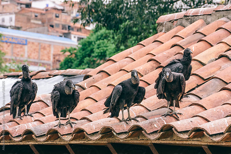 Black vultures on a tile roof by Alejandro Moreno de Carlos for Stocksy United