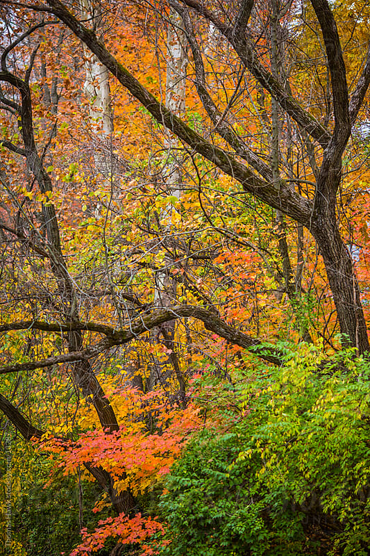 Fall color trees by Thomas Hawk for Stocksy United