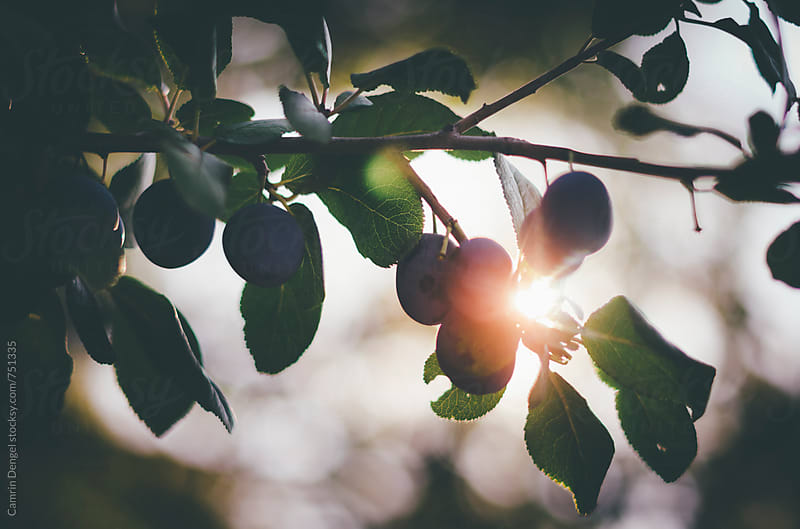Sunlit Plums by Camrin Dengel for Stocksy United